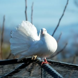 Purebred Pigeons